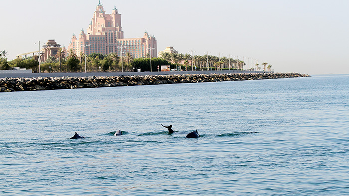 Wild Dolphins, those unnoticed inhabitants of UAE waters