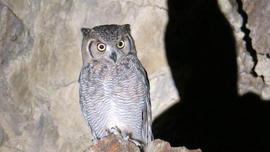 As Part of its Nationwide Terrestrial Conservation Programme: Emirates Wildlife Society-WWF Discovers First AraBian Eagle-Owl in UAE